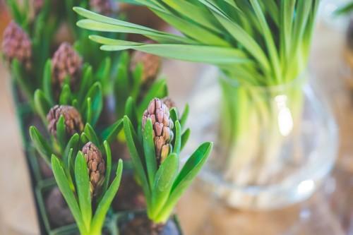 kaboompics.com_Young hyacinth bulb